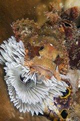 Scorpionfish on tube worm Raja Ampat Islands
