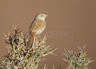 African Desert Warbler near Erg Chebbi Morocco