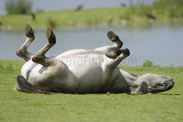 Tarpan horse rolling in the grass France