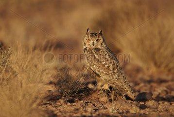 Pharaoh Eagle Owl near Erg Chebbi Morocco