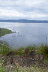 Rock hyrax on the flooded banks of Lake Nakuru Kenya