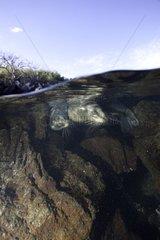 Galapagos sea lion under surface Galapagos Islands