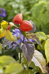 Physalis fruit in a garden