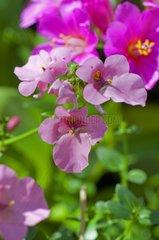 Diascia 'Little dancer' in bloom in a garden