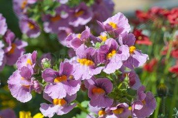 Capejewels 'Sunsatia Cassis' in bloom in a garden