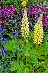 Lupine in bloom in a garden