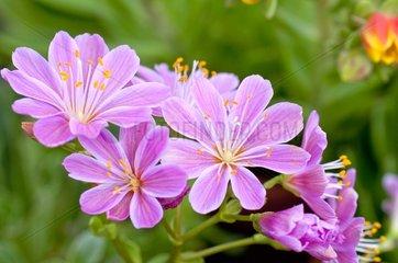 Lewisia in bloom in a garden