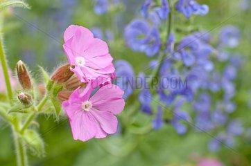 Silene 'Rolly's Favourite' in bloom in a garden