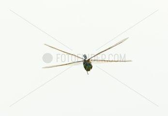 Southern Hawker Dragonfly in flight - Norfolk UK