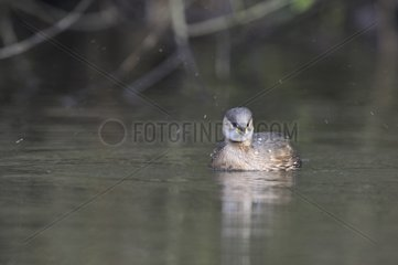 Little grebe snorting while swimming on a lake France
