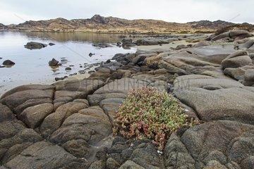 Succulents growing on the Atlantic coast Namibia