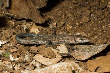 Catalan Lizard on earth France