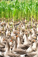 Breeding of domestic geese for foie gras Perigord France