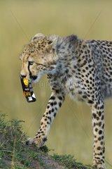 Young Cheetah playing with packaging Masai Mara Kenya