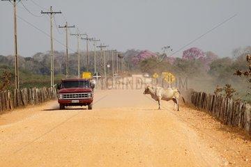 Vehicle and cow on the Transpantaneira road Pantanal Brazil