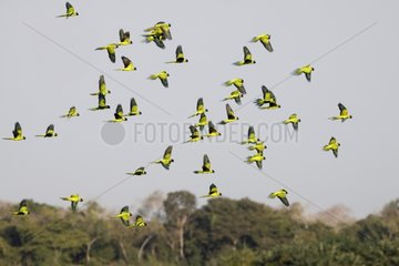 Flight of Nanday Parakeets Pantanal Brazil