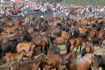Herding Horses Rapa das bestas Galicia Spain