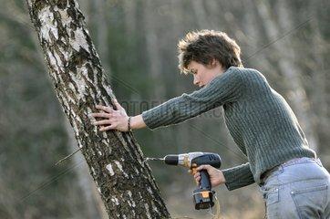 Preparation to harvest sap Birch Vosges France