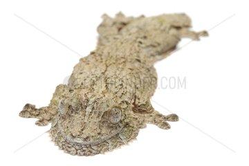 Mossy leaf-tail gecko