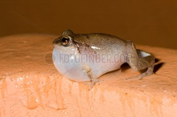 Lesser Antillean whistling frog Bay Mahault in Guadeloupe