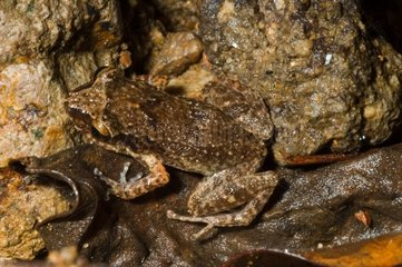 Lesser Antillean whistling frog in Guadeloupe