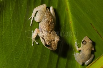 Lesser Antillean whistling frogs in Guadeloupe