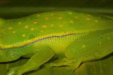 Detail of a Polka-dot Treefrog on a leaf French Guiana