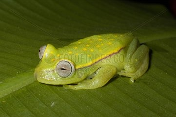 Polka-dot Treefrog on a leaf French Guiana