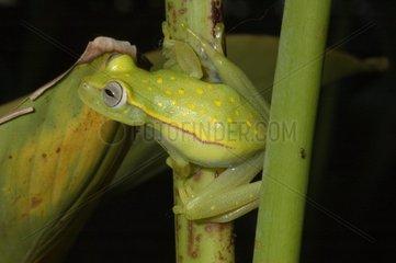 Polka-dot Treefrog on a stem French Guiana
