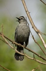 Gray Catbird posed on a branch in USA
