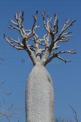 Pachypodium 'palm of Madagascar' Madagascar South
