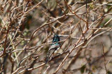 Souimanga Sunbird on a branch South West Madagascar