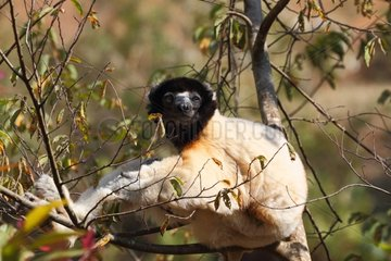 Crowned sifaka Madagascar on a branch