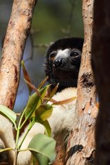 Crowned sifaka on a trunk North West Madagascar