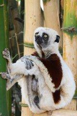 Coquerel's sifaka on bamboo Northwest Madagascar