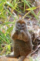 Bamboo lemur eating bamboo Madagascar