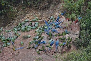 Parrots riverbank Rio Madre de Dios Peru Tambopata
