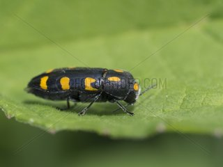 Metallic wood-boring beetle on leaf - Franche-Comté France