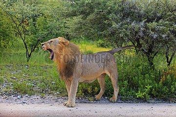 Lion preparing to urinate to mark their territory Namibia
