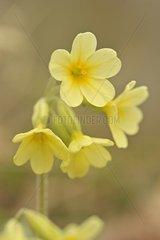 Cowslip Primrose in flower Eply France