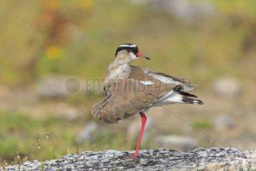 Crowned Lapwing snorting Etosha Namibia