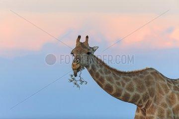 Giraffe eating succulents Etosha Namibia