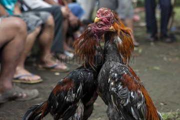 Cocks fighting Sulawesi Indonesia