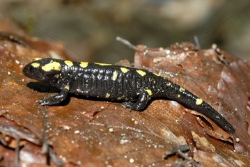 Corsican Speckled Salamander Forest Aitone Corsica