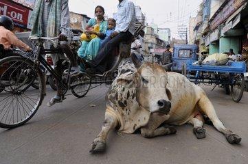 Cow lying on a street in Varanasi in India
