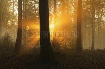 Sunbeams in beech forest in autumn Germany