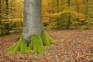 Beech forest in autumn Germany