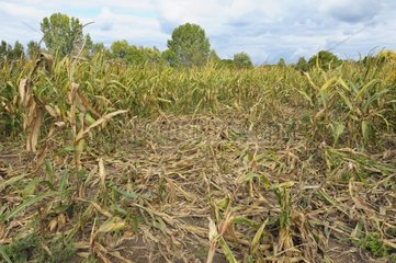 Game damage in maize field from Wild boars Germany