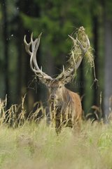 Red deer with grass in his antler at rutting season Germany