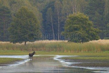 Red deer in water Germany